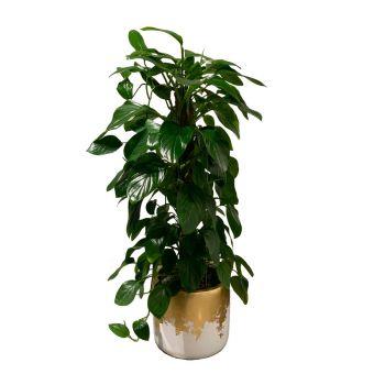 Philodendron Guttifero